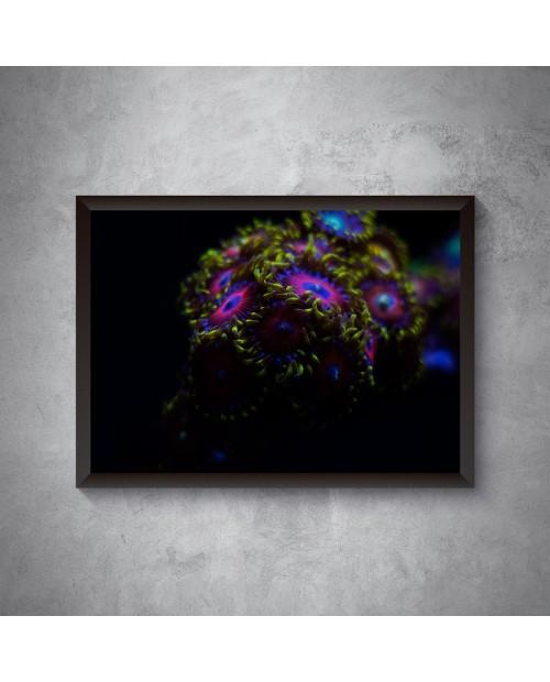 Kolonia Zoanthus – plakat
